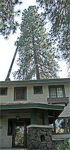 Photo of a 120' pine tree that is going to be removed