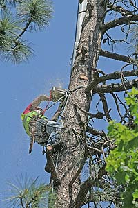 Photo of worker making the top cut on a tree removal project