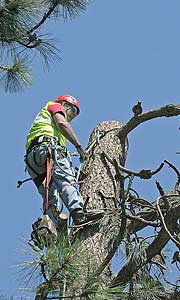 A worker in a pine tree just after a large section has been removed