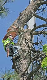 Cut section swinging free as a large pine tree is being removed