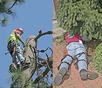 A worker in the top of a tree, and a worker underneath a small tree